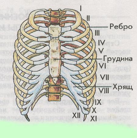 Как отличить скелет мужчины от скелета женщины ответы